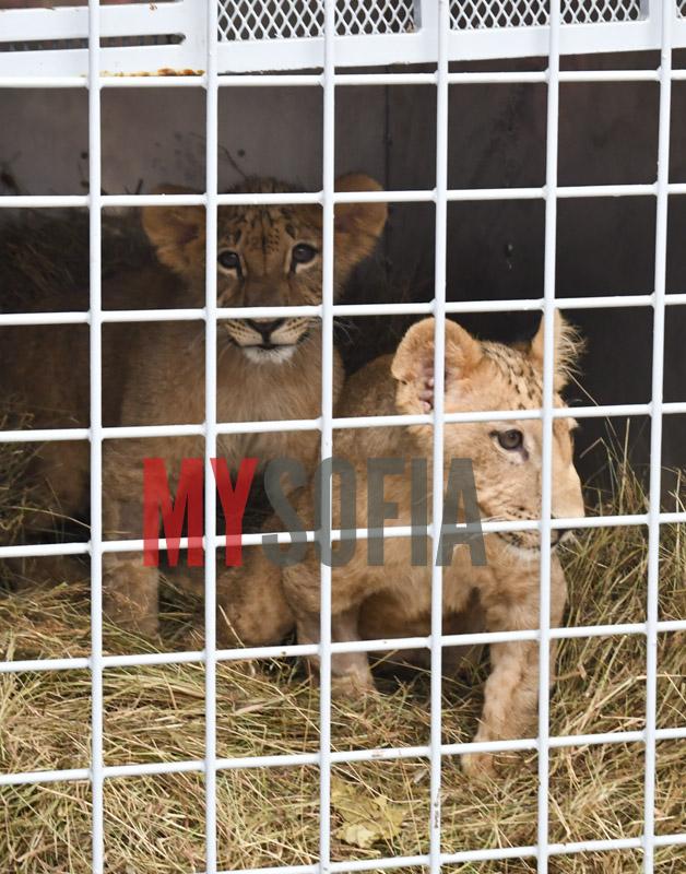 lions-terez-i-masud
