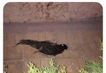 dead-fazan